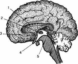 Рис. 4. Соединительные связи между полушариями головного мозга