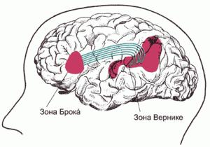 Рис. 13. Специализированные устройства для ввода (зона Брока) и вывода (зона Вернике) устной речи в левом полушарии