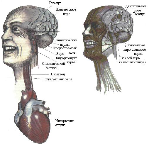 Рис. 7. Непроизвольная мускулатура (слева) контролирует движения пищевода, радужной оболочки, сердца и кровеносных сосудов. Произвольная мускулатура (справа) управляет движениями глаз, лицевых мышц, языка и гортани.