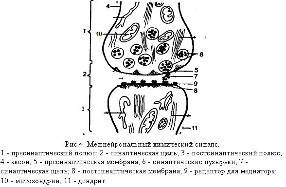 Межнейрональный химический синапс