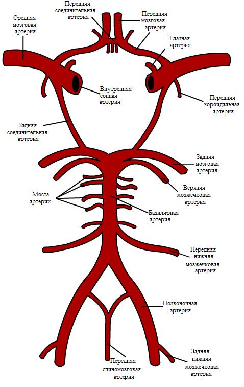 Артерии основания мозга (схематическое обозначение)