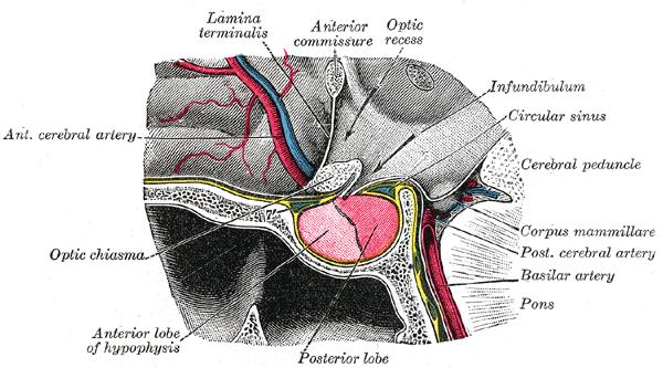 Гипофиз (сагитальный разрез)