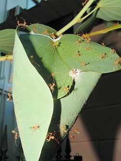 Некоторые муравьи делают гнезда из зеленых листьев растений, склеивая их паутиной, которую вырабатывают личинки.