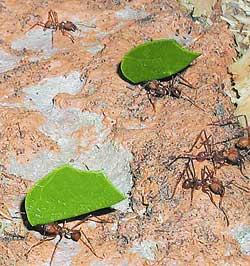 Муравьи-листорезы несут кусочки листьев в гнездо. Измельченные листья используются в качестве удобрения для почвы, на которой выращивается пищевой грибок.