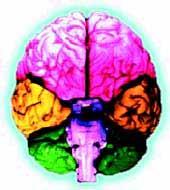 Занятия музыкой с детства способствуют развитию левой височной области мозга (выделена желтым цветом), отвечающей за логическую обработку звуковой информации.