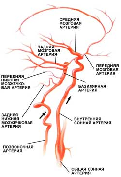 Общая схема кровоснабжения мозга. Кровь поступает в мозг по четырем крупным магистральным артериям: двум внутренним сонным и двум позвоночным.