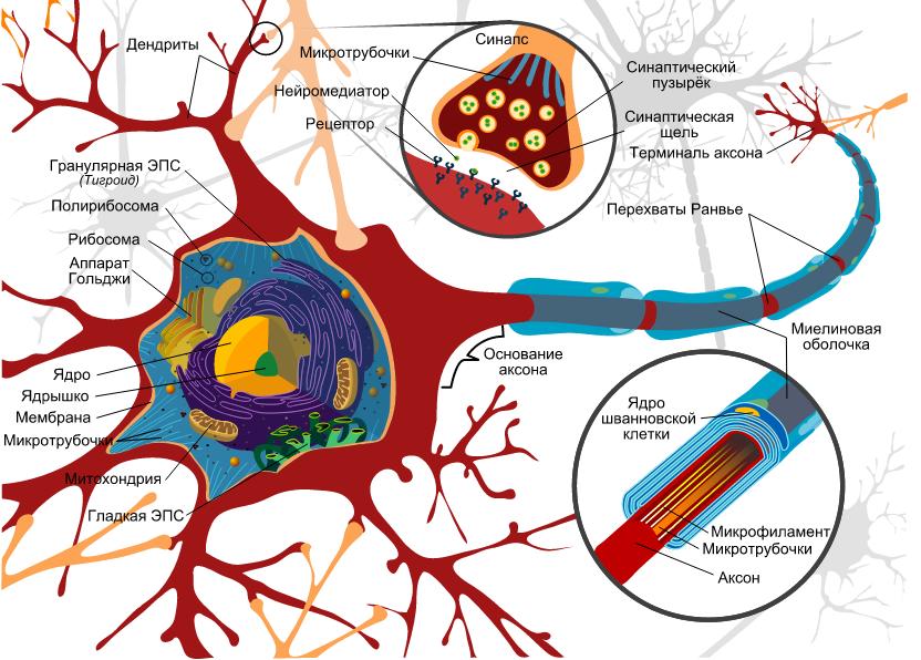 Схема строения нейрона