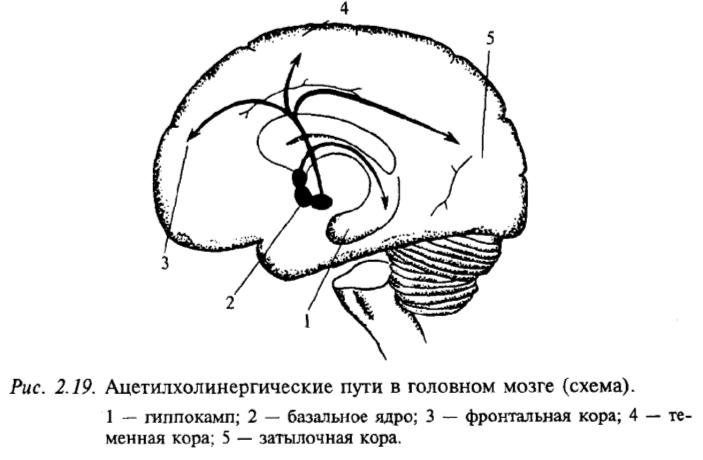 Ацетилхолинергические пути в головном мозге (схема)