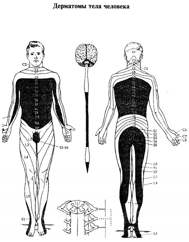 Дерматомы тела человека