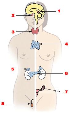 Эндокринная система. Главные железы внутренней секреции
