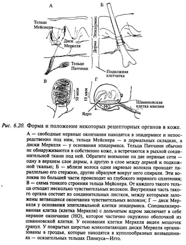 Форма и положение некоторых рецепторных органов в коже