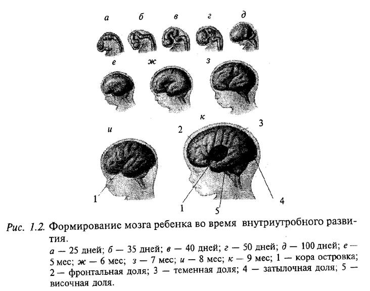 Формирование мозга ребенка во время внутриутробного развития