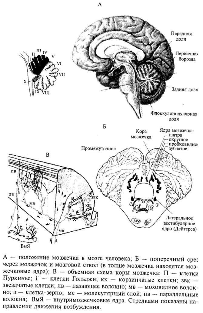 Функциональная анатомия мозжечка