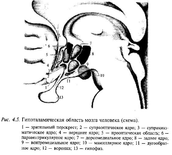 Гипоталамическая область мозга человека