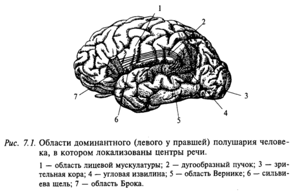 Области доминантного (левого у правшей) полушария человека, в котором локализованы центры речи