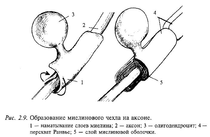 Образование миелинового чехла на аксоне