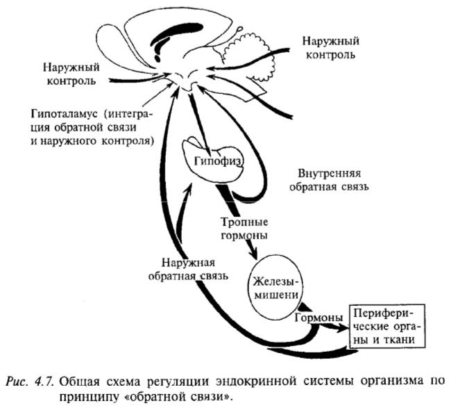 Общая схема регуляции эндокринной системы организма по принципу обратной связи