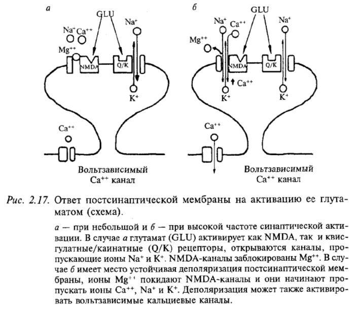 Ответ постсинаптической мембраны на активацию ее глутаматом (схема)