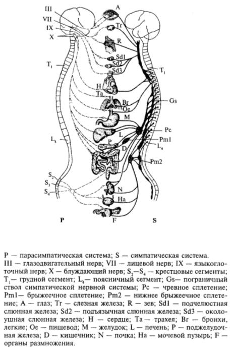 Периферическая вегетативная нервная система человека