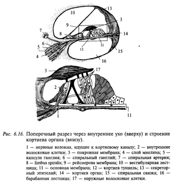 Поперечный разрез через внутреннее ухо (сверху) и строение кортиева органа (снизу)