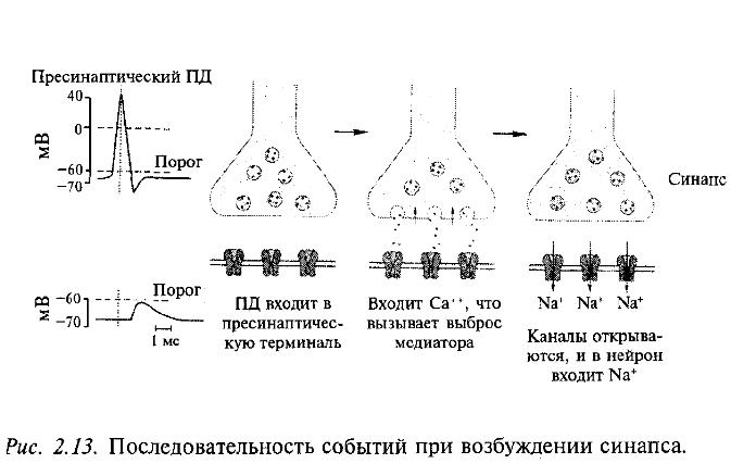 Последовательность событий при возбуждении синапса
