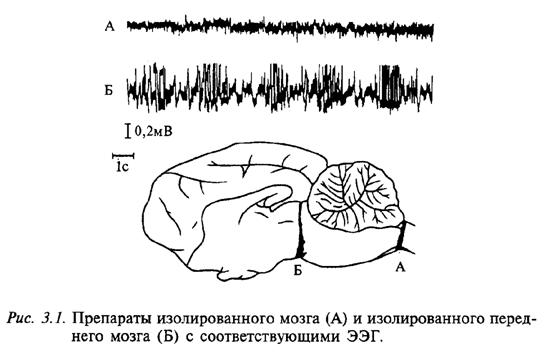Препараты изолированного мозга (А) и изолированного переднего мозга (Б) с соответствующими ЭЭГ