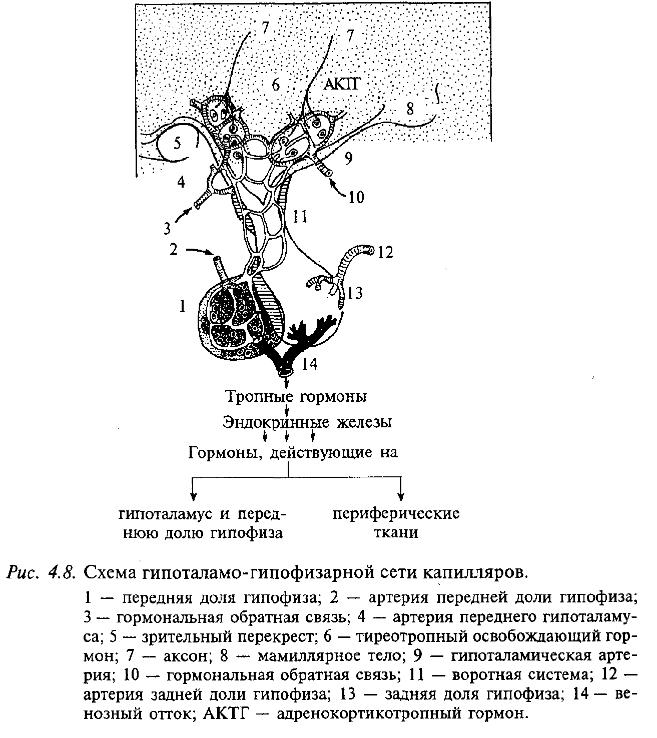 Схема гипоталамо-гипофизарной сети капиляров