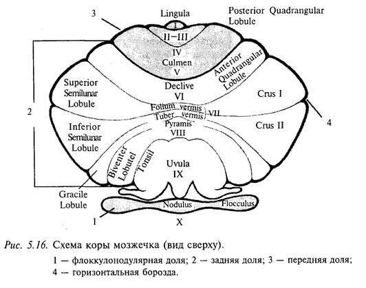 Схема коры мозжечка (вид сверху)