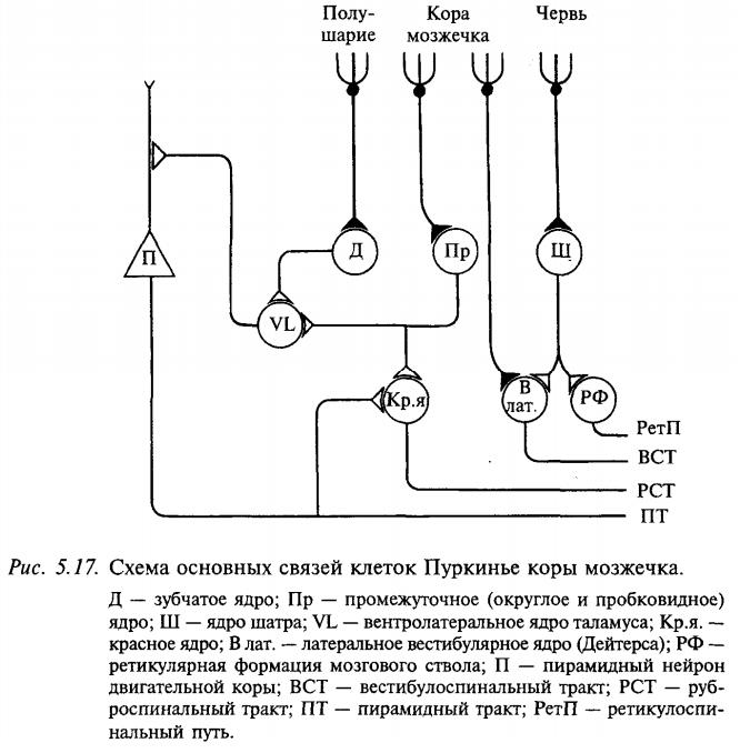 Схема основных связей клеток Пуркинье коры мозжечка
