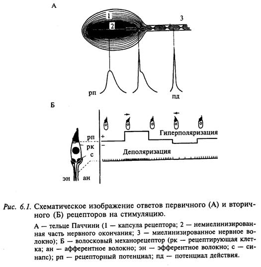 Схематичное изображение ответов первичного (А) и вторичного (Б) рецепторов на стимуляцию