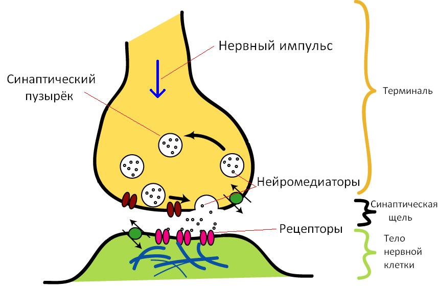 Основные элементы синапса