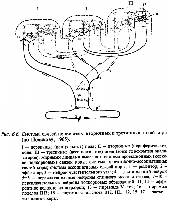 Система связей первичных, вторичных и третичных полей коры (по Полякову, 1965)