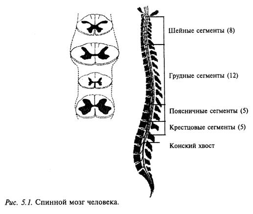 Спинной мозг человека
