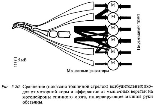 Сравнение (показано толщиной стрелок) возбудительных входов от моторной коры и афферентов от мышечных веретен на мотонейроны спинного мозга, иннервирующие мышцы рыки обезьяны