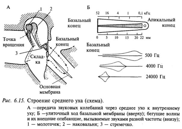 Строение среднего уха (схема)