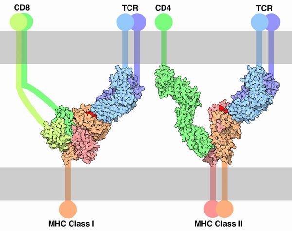 Связь T-клеточного рецептора с молекулами главного комплекса гистосовместимости I и II класса, презентирующей антиген (указан красным)