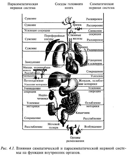 Влияние симпатической и парасимпатической нервной системы на функции внутренних органов