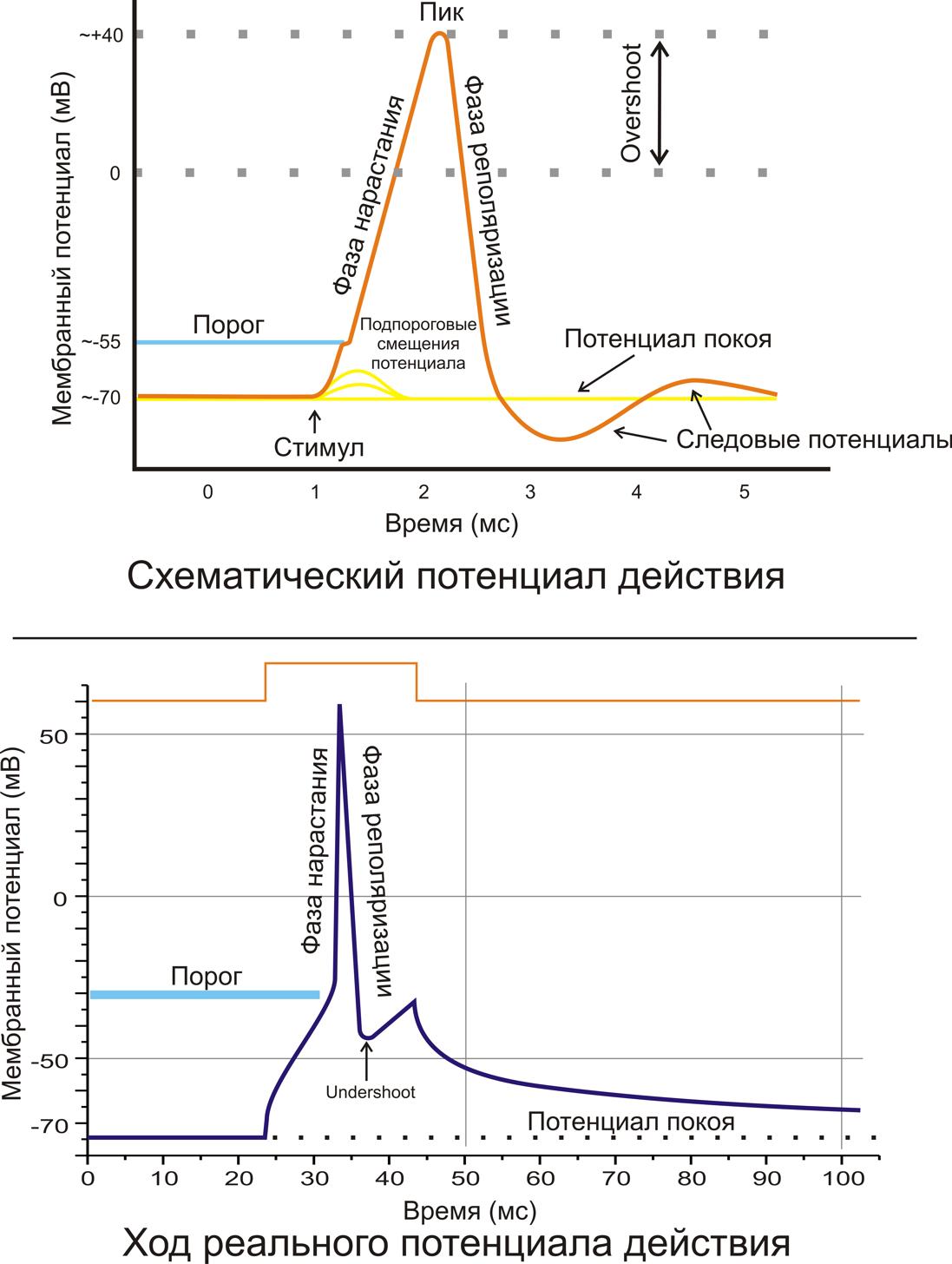 Рис. 2. A. Схематичное изображение идеализированного потенциала действия. B. Реальный потенциал действия пирамидного нейрона гиппокампа крысы. Форма реального потенциала действия обычно отличается от идеализированной.