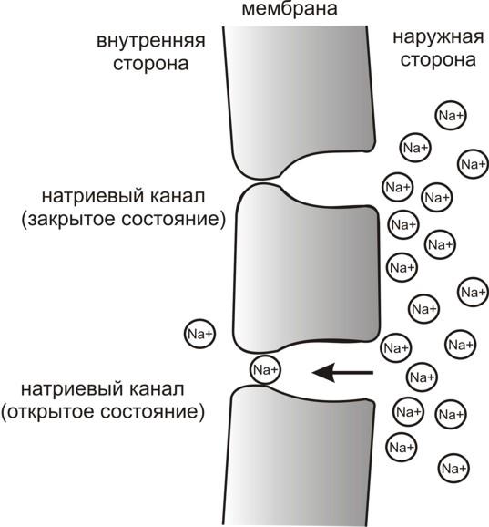 Рис. 3. Простейшая схема, демонстрирующая мембрану с двумя натриевыми каналами в открытом и закрытом состоянии, соответственно