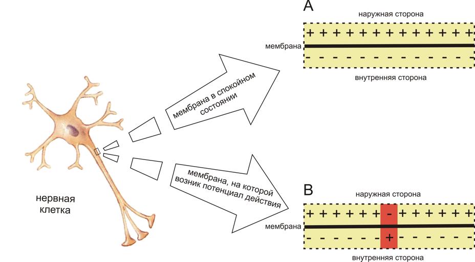 Рис. 1. Схема распределения зарядов по разные стороны мембраны возбудимой клетки в спокойном состоянии (A) и при возникновении потенциала действия (B) (см. объяснения в тексте)