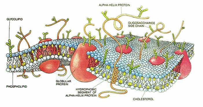 Схема строения мембраны клетки