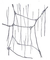 Мейсснерово сплетение кролика. Увеличение 50:1. Рисунок из Анатомии Грея.