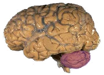 Препарат мозга человека, красным выделен мозжечок (Cerebellum)