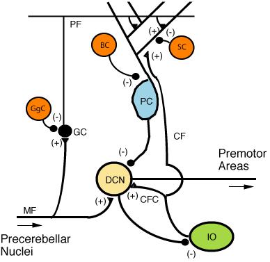 Нейрональные взаимосвязи коры мозжечка