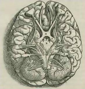Изображение основания головного мозга, выполненное А.Везалием в 1543 году. На рисунке также изображён мозжечок