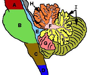 Схема мозжечка и соседних с ним структур головного мозга