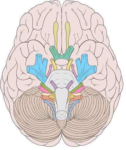Схема мозга, ствола мозга и черепномозговых нервов (обонятельный нерв отмечен салатовым цветом)