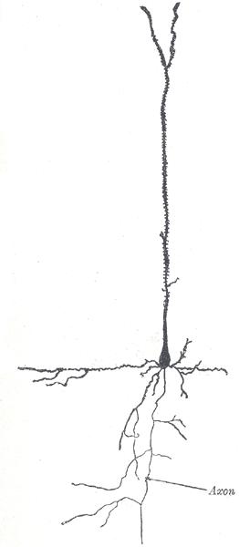 Пирамидальный нейрон. Клетка Беца отличается от него большим размером и наличием перисоматических дендритов