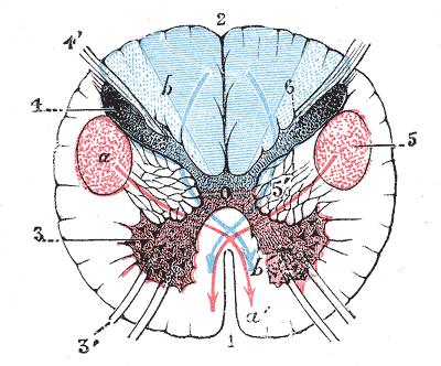 Поперечный разрез спинного мозга. Пирамидная система — красный цвет
