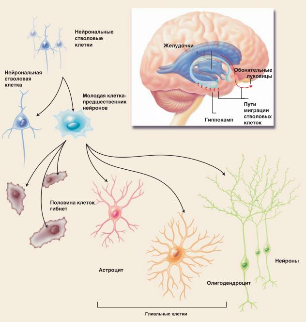 Как мозг создает новые нейроны